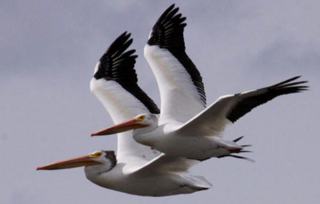 American White Pelican Conservation