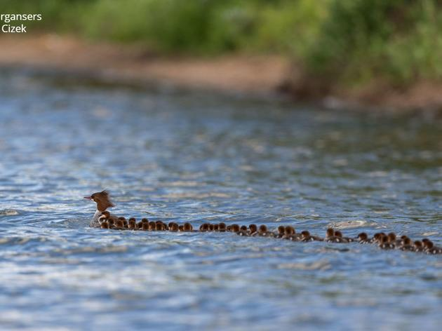 Mama merganser and the climate conundrum