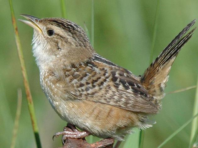 Stewardship Birds of Minnesota