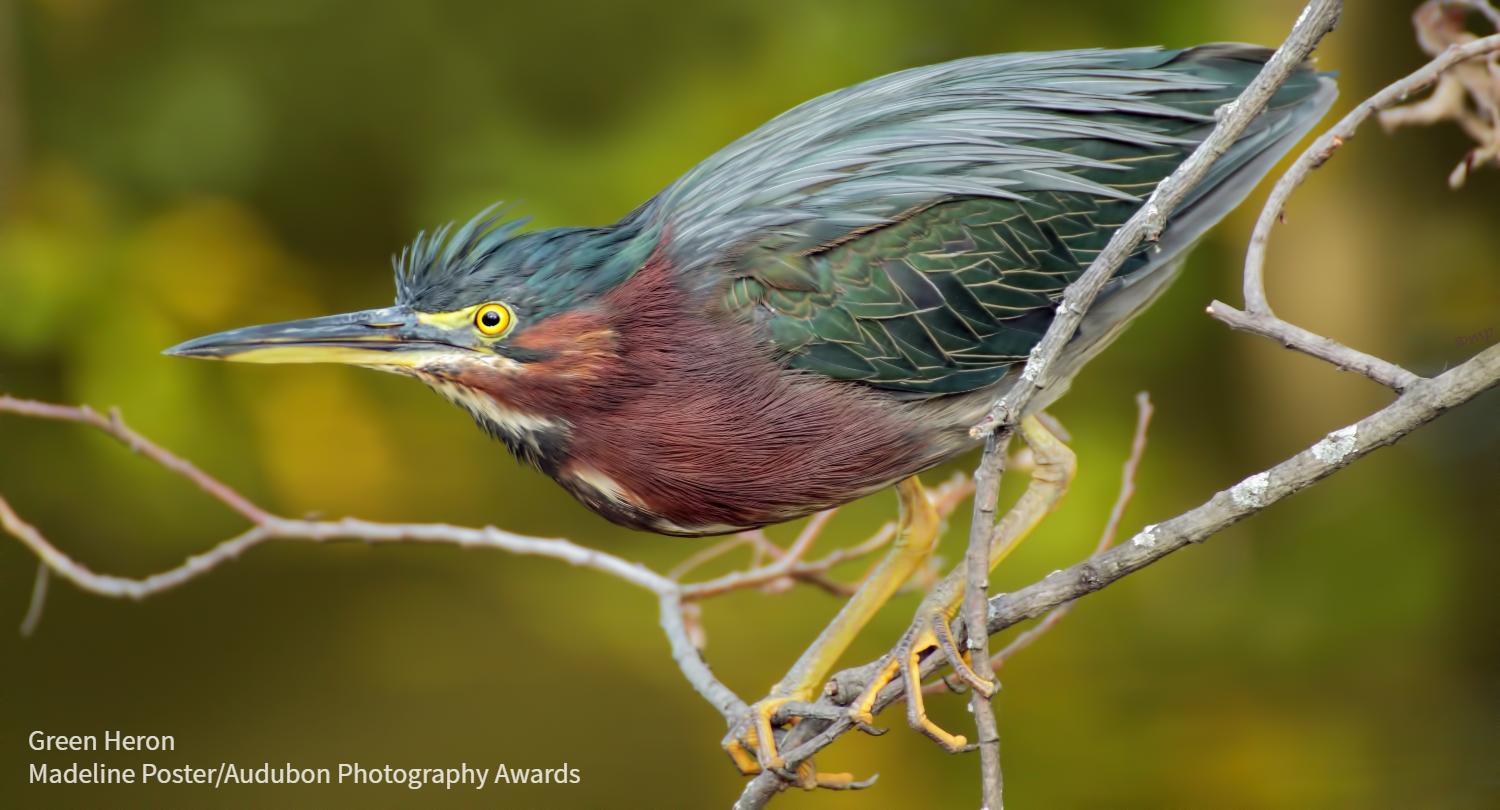 bird - green heron