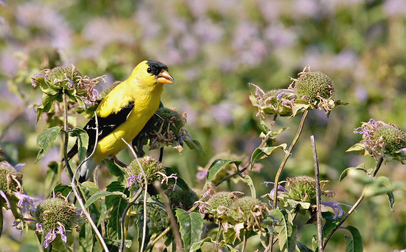 American Goldfinch by Jim Williams