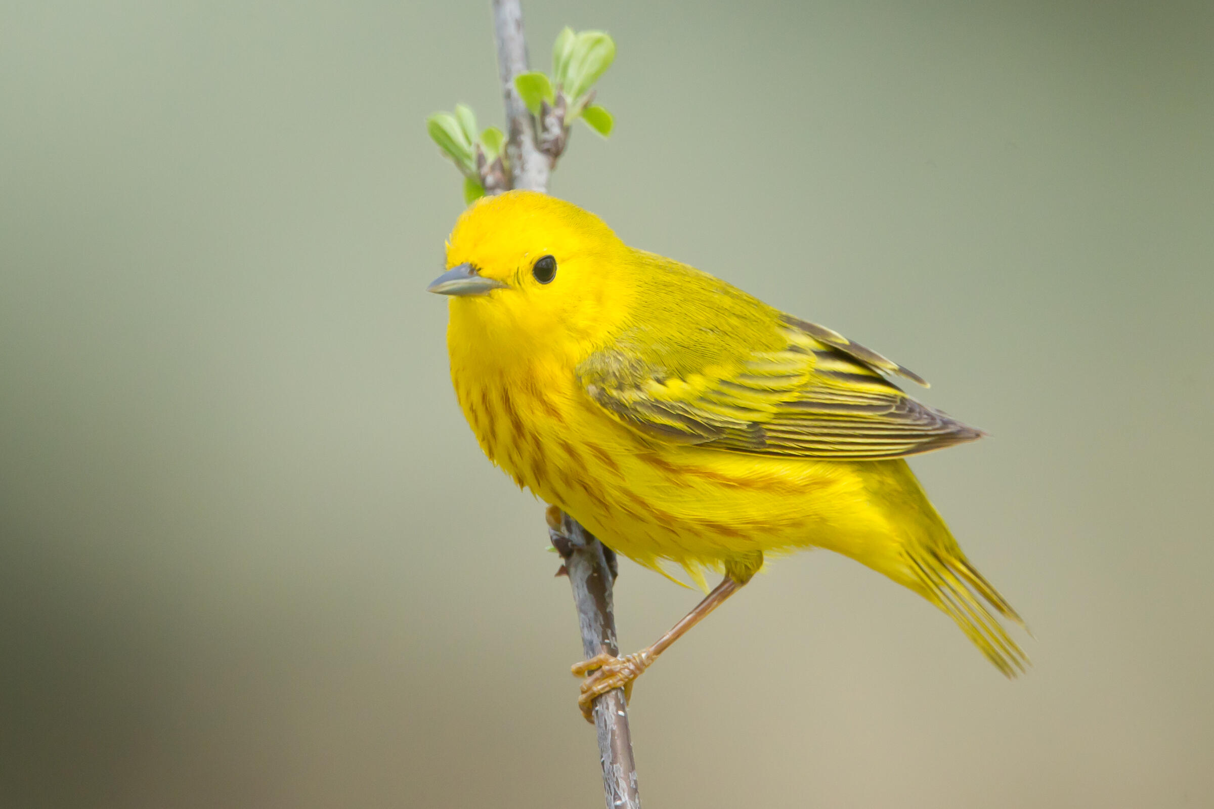Yellow Warbler by Rebecca Field
