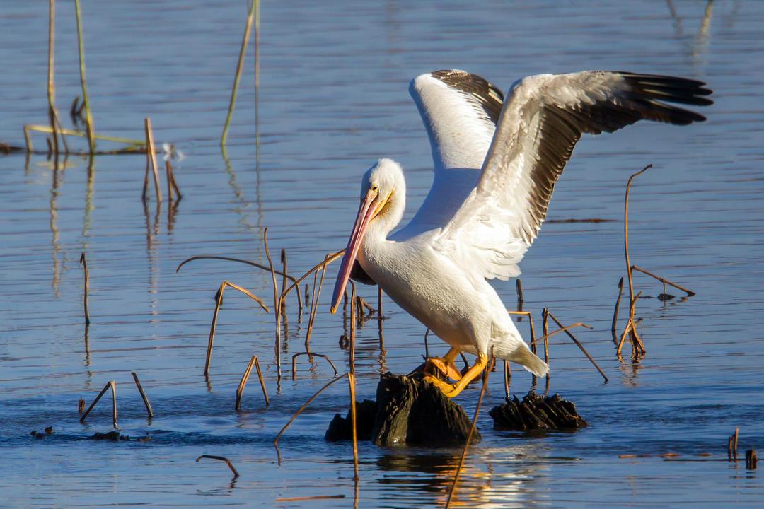 Rebecca Field, American White Pelican